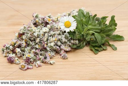 Dried Daisy Flowers And Fresh Plant, Lat. Bellis Perennis, Also Bruisewort. Bellis Perennis Has Been