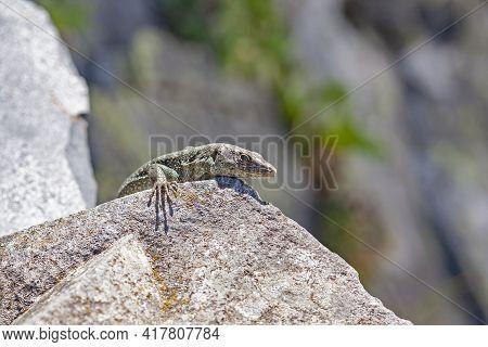 The Madeiran Wall Lizard (teira Dugesii) Is An Endemic Species Of The Madeira Archipelago, Portugal