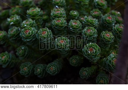 Rhodiola Rosea With Water Drops Close Up