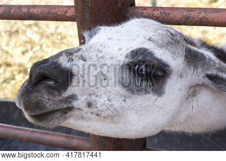 Muzzle Of A White Alpaca. Mammal Portrait.