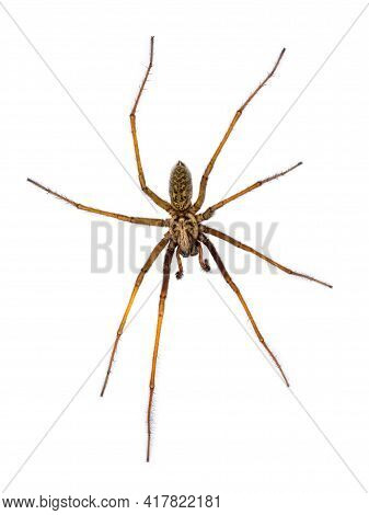 Giant House Spider (eratigena Atrica) Top Down View Of Arachnid With Long Hairy Legs Isolated On Whi