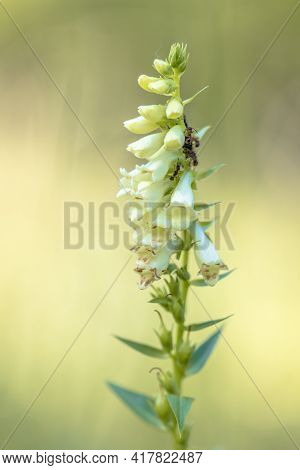 Straw Foxglove (digitalis Lutea) Short-lived Perennial Plant With Ants Eating Nectar