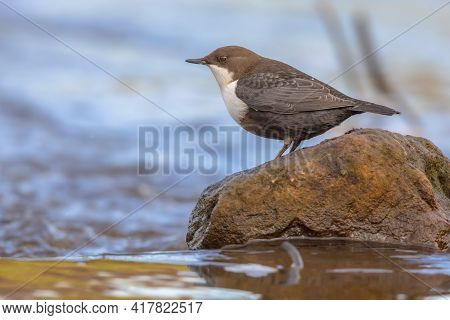 White-throated Dipper (cinclus Cinclus) Aquatic Bird Foraging In Fast Flowing Water Of A Creek In Na
