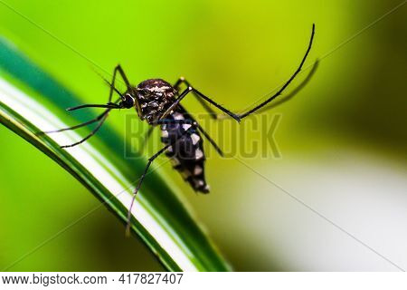 Mosquitoes Eating Blood On Human Skin. World Malaria Day