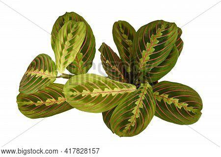 Top View Of Exotic Houseplant With Botanic Name Maranta Leuconeura Fascinator Houseplant Isolated On