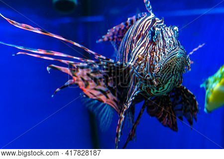 Lionfish Close-up, Devil-fish In Water On Blue Background, Butterfly-fish In Red Sea