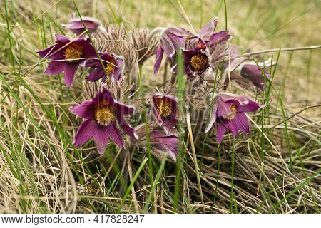 Dream Herb. Flowers Of The Windflower Or Pulsatilla Patens. First Spring April Blue Sleep Grass Flow