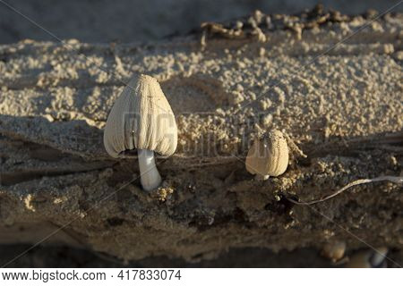 Coprinellus Xanthothrix, A Beautiful Inedible Poisonous Mushroom That Grows On Wood Among The Sand.