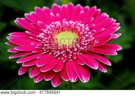 Closeup Of A Yellow Centered Pink Gerbera.