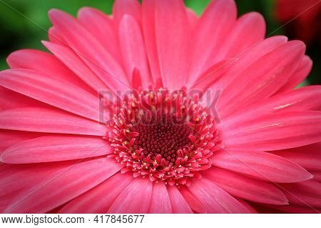 Macro Of A Pink Gerbera At The Lower Center Of The Photo.
