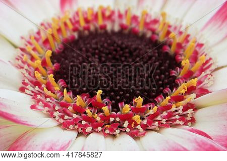 Macro Of A Pink And White Gerbera Daisy Center.