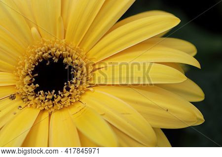 Macro Of A Yellow Gerbera In The Upper Left Hand Corner.