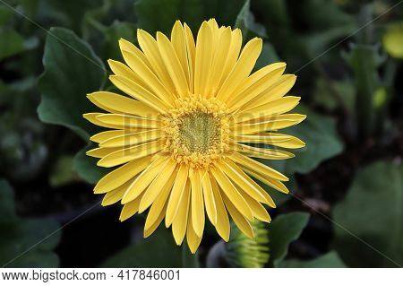 Closeup Of A Yellow Gerbera Daisy In Bloom.