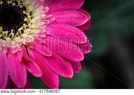 Macro Of A Pink Gerbera Daisy Flower In The Corner.