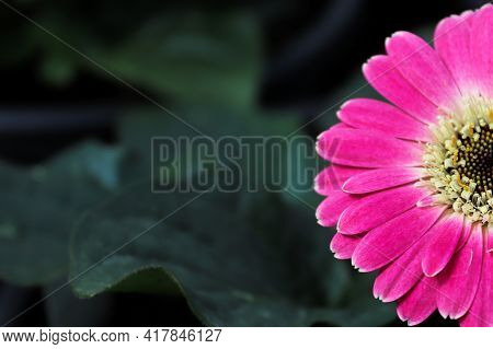 Macro Of A Pink Gerbera Daisy Flower In The Right Hand Side.