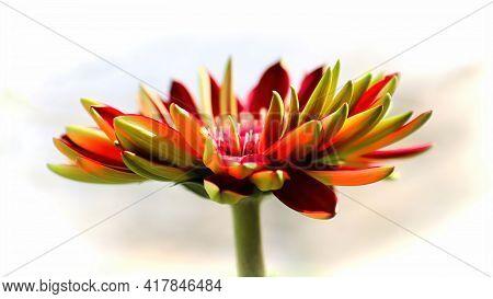 Side View Of A Colorerful Gerbera Daisy Flower Head.