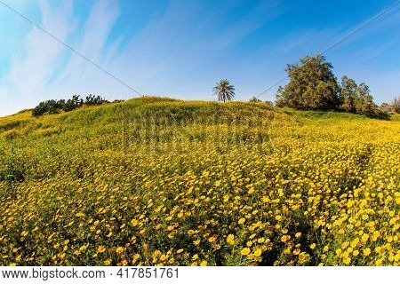 Spring bloom of the Negev Desert in Israel. Magnificent blooming spring. Field of blooming daisies in the bright southern sun. Blue sky and light clouds.
