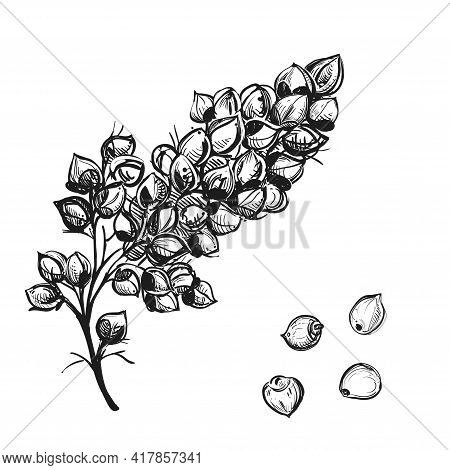 Hand Drawn Sketch Black And White Sorgo Branch, Grain, Seeds, Leaf. Vector Illustration. Elements In