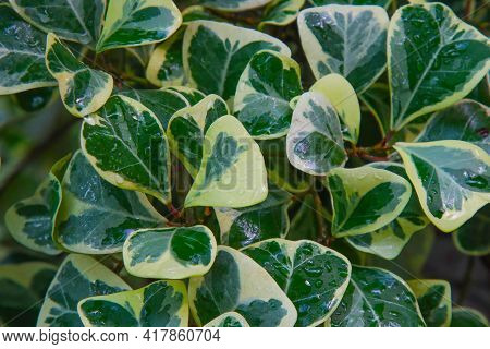Ficus Leaves In Spray Of Water From The Rain.