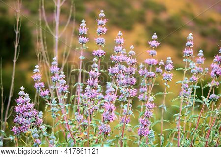 Black Sage Plant Flower Blossoms During Spring On An Arid Hillside Taken At A Chaparral Woodland In