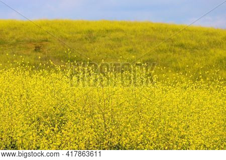 Mustard Plant Flower Blossoms During Spring On A Rural Hillside Taken At A Prairie In The Puente Hil