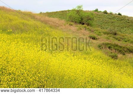 Lush Grasslands On A Rural Hillside On A Prairie Covered With Mustard Wildflowers During Spring Take