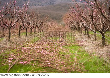 A Blooming Peach Orchard After Pruning Against The Backdrop Of Mountains. In The Aisle Are Cut Branc