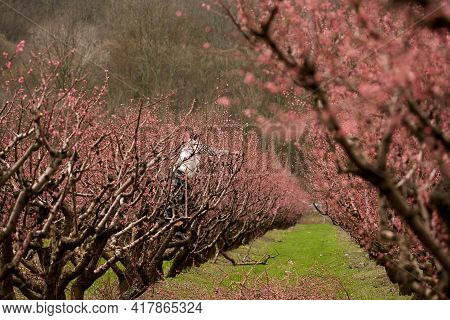 Seasonal Spring Work In The Peach Orchard. A Man, Standing On A Tree, Cuts Off The Branches Of A Flo