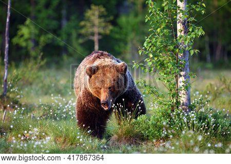The Brown Bear (ursus Arctos), Big Male Walking Along A Green Meadow.big Bear Face To Face. Dangerou