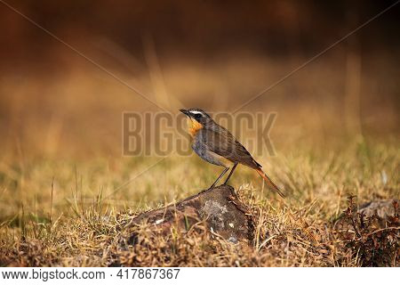The Cape Robin-chat (cossypha Caffra) Sitting On The Stone With Brown Background. A Small Mountain P