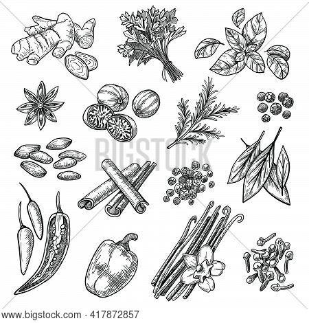 Spices Sketches Set. Hand Drawn Cinnamon, Cardamom, Nutmeg, Ginger, Clove, Vanilla, Basil, Oregano,