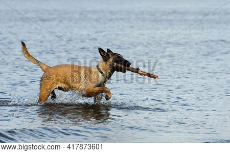 Funny Malinois Dog With A Stick In Its Mouth Is Walking Through The Water, Profile View.