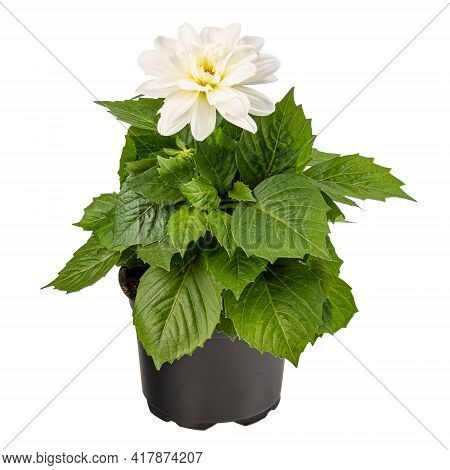 Blooming White Dahlia In The Flower Pot Isolated On White Background