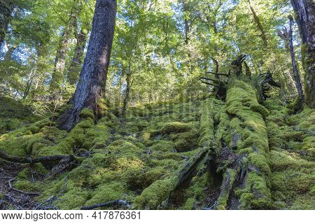 Luxuriant Shady And Moss Covered Forest Floor In South Island New Zealand.
