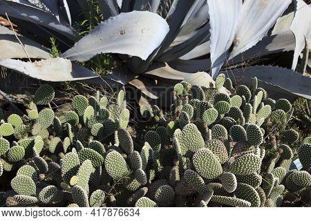 Ses Salines, Majorca / Spain - August 22, 2016: Cactus Garden At Island Majorca, Botanicactus Garden