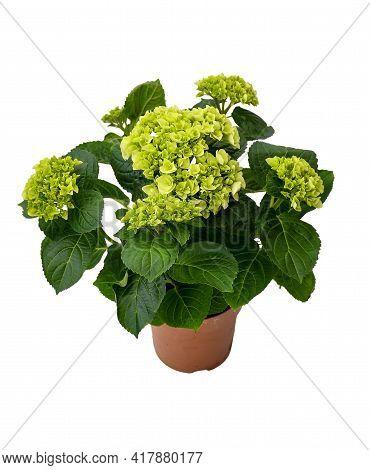 Beautiful big round flower green  hortensia or hydrangeas macrophylla niphym blossoms with green lea