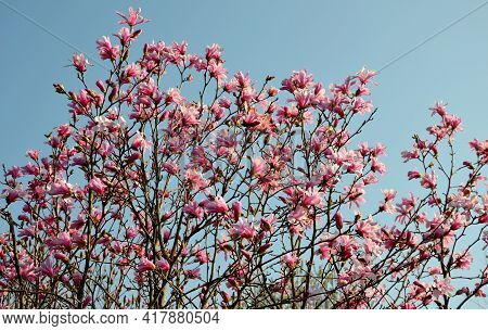 The Flowers Are Very Fragrant, In The Shape Of Broad Tulips, Pinkish To Faint Purple On The Outside,