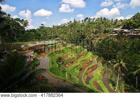 Bali, Indonesia - 06 Aug 2016: The Rice Terraces On Bali, Indonesia