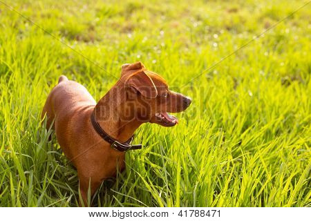 brown Dog mini pinscher in a green meadow outdoor poster