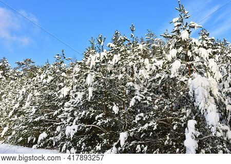 Green Pine Trees In The Snow In Winter On The Blue Sky Background. Pine Forest Covered With Snow Aft