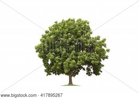 Isolated Trees On White Background.  Tropical Tree In The Northeast Of Thailand, Used For Design, Ad