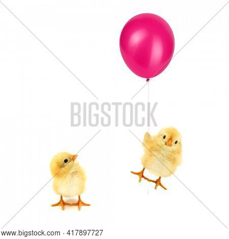 Two chicks one looking in other crazy chick flying up with balloon trendy concept isolated on white background funny photo