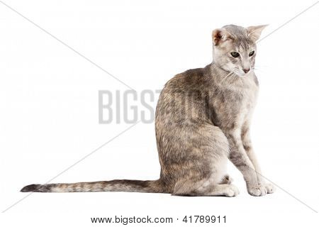 Oriental shorthair cat sitting and watching, isolated on white poster
