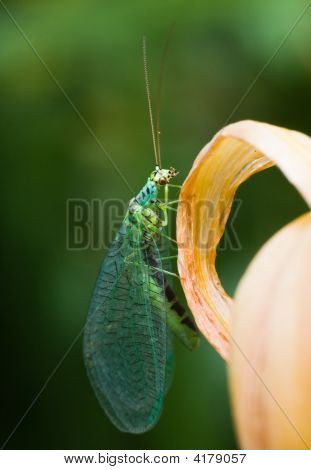 Lacewings Resting