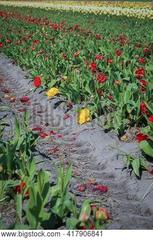 Tulips Flower Fields In Lisse Near Famous Keukenhof Gardens, Netherlands