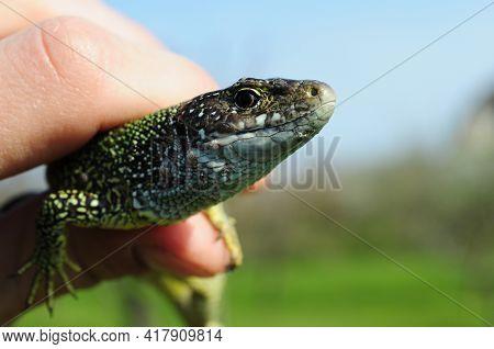 European Green Lizard Lacerta Viridis In Human Fingers. Little Lizard With Brown Eye Looking Into Ca