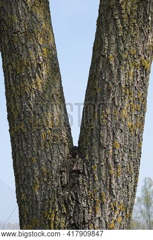 Close Up Of A Tree Trunk With V Shape