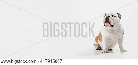 Portrait Of English Bulldog Isolated Over White Background. Flyer