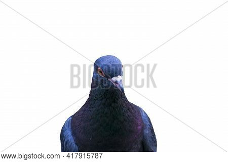Portrait Of A Pigeon Isolated On A White Background