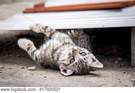 Adorable Small Gray Little Kitten Playing. Domestic Kitten.